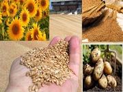 Экспорт Пшеница,  подсолнечник,  лен,  Ячмень,  мука от производителя Каз