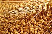Пшеница 3 класс крупный опт от 1000 тонн